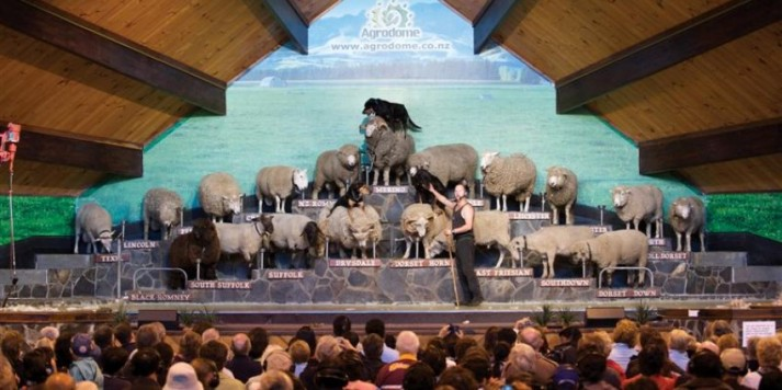 Agrodome_SheepShow_icon_Medium